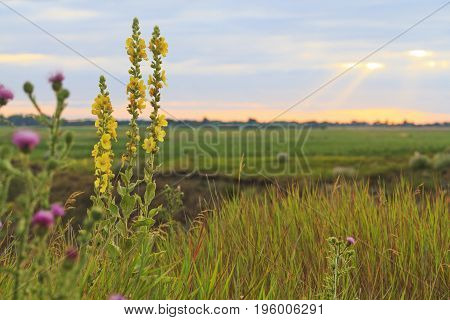 Field honey flowers at sunset, Medicinal plants, wildlife