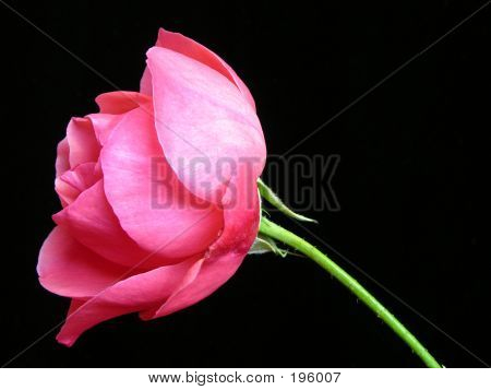 Pink Rose With Black Background