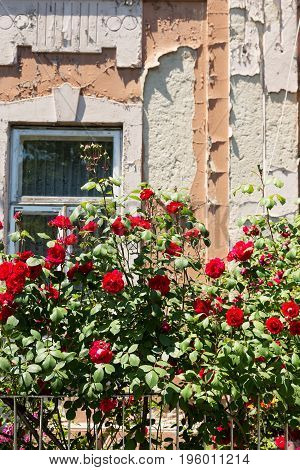 Cottage With Beautiful Red Roses Around The Door
