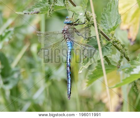 Emperor dragonfly (Anax imperator) at rest. Impressive blue insect in the family Aeshnidae sitting on vegetation aka the blue emperor