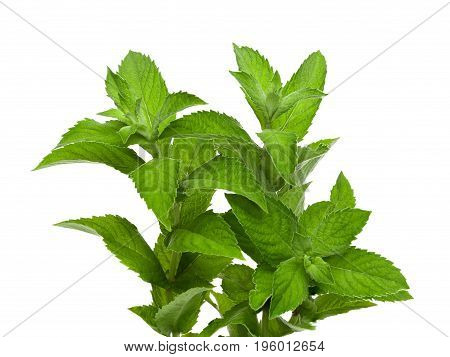 Mint fresh green leaves isolated on white background