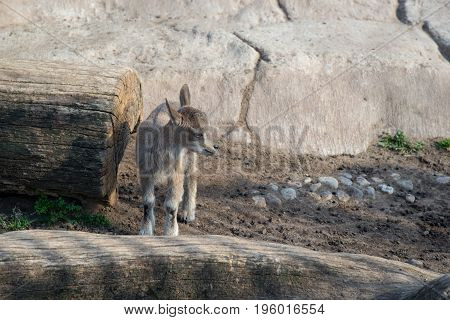 kid mountain Bukhara marchor also known as a Turkmenian Markhor.
