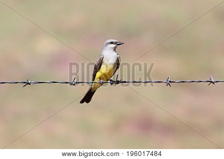 Western Kingbird (Tyrannus verticalis) on a barbed wire fence