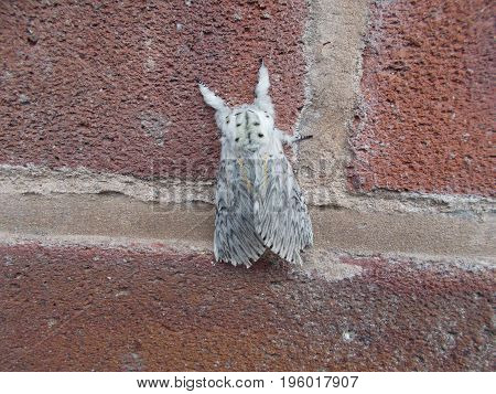 Adult Puss Moth is a large UK moth with the Latin name of Cerura vinula which is covered in soft cat like fur.
