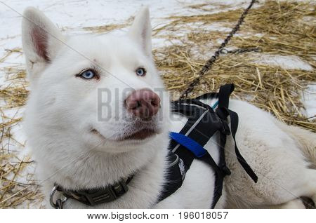 Blue eyed pure white hasky dog with pink nose. Unfocused background.