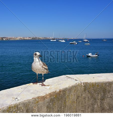 Portrait of seagull on the stone fence of promenade in Cascais Portugal