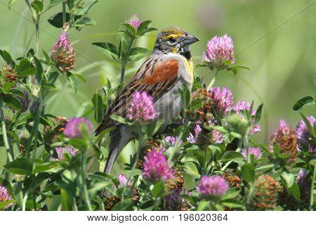 Dickcissel (Spiza americana) in a bunch of flowers in a field