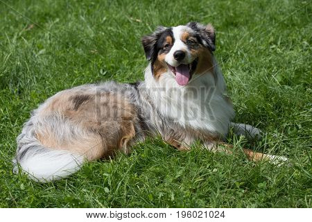 A young beautiful Australian Shepherd dog standing on the lawn while sticking its tongue out and looking happy and playful. Australian Shepherd dog is a breed known for being intelligent alert and loyal companion dogs. poster