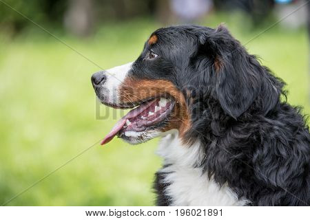 A young beautiful Bernese mountain dog standing on the lawn while sticking its tongue out and looking happy and playful. Bernese dog is a breed known for being intelligent alert and loyal companion dogs