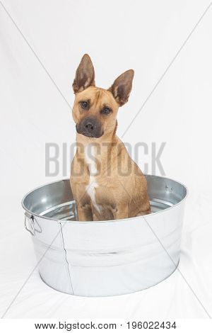 Dog in a Bucket, mixed breed dog sits in a steel tub
