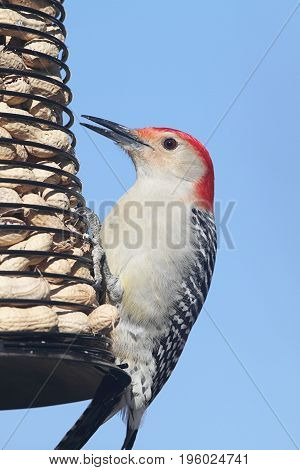 Male Red-bellied Woodpecker (Melanerpes carolinus) on a peanut feeder with a blue background