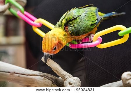 Sun fancy conure colorful parrot perched on plastic chain playing biting branch