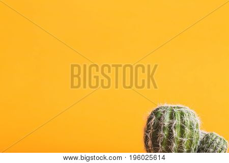 Cactus plant on a vivid yellow background