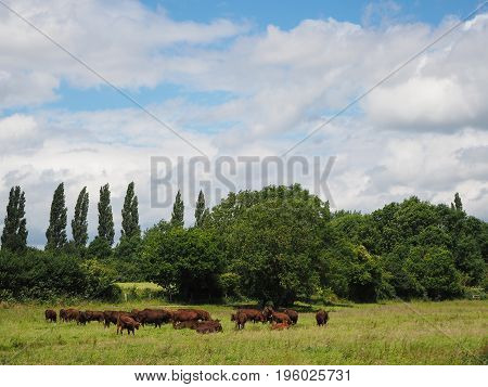 Beautiful landscape of grass field, blue sky and green environment. Herd of red cows. Natural background, backdrop. Nature landscape background concept.
