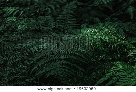 Dark green fern leaves in the forest - natural background. Space for copy selective focus.
