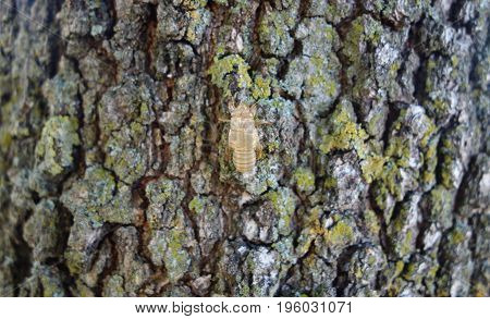 Cicada exoskeleton on an oak tree bark