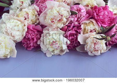 pink and white peonies on a purple surface. floral background. empty space for Your text underneath.