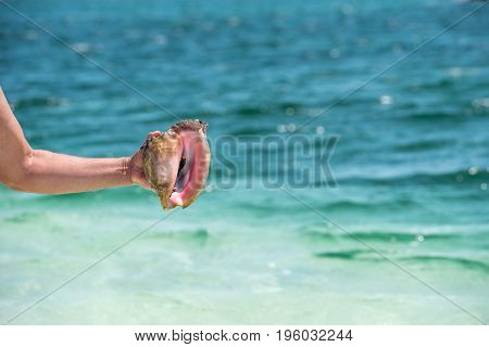 Cassis madagascariensis in the hand on the beach Playa Paradise of the island of Cayo Largo Cuba. Copy space for text. Close-up
