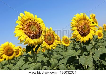 View Field Of Sunflowers