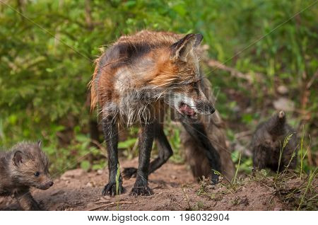 Red Fox Vixen (Vulpes vulpes) With Meat and Kits - captive animals