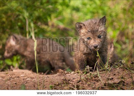 Red Fox Kit (Vulpes vulpes) Walks Towards Viewer - captive animals