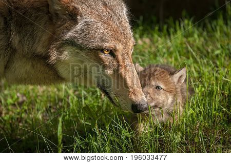 Grey Wolf (Canis lupus) Mother and Pup Touch - captive animals