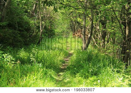 narrow path for tourists leading in the green grass and forest on the Smrk Hill, Beskydy mountains, Czech Republic