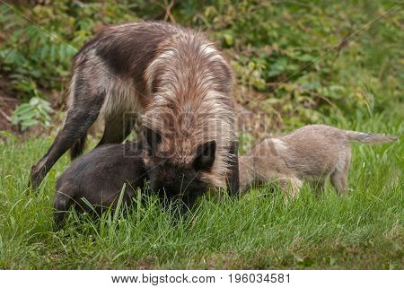 Grey Wolf (Canis lupus) and Pups Heads in Grass - captive animals