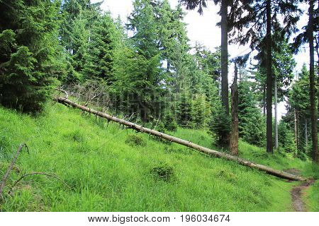 dead trunk of fallen spruce tree at the edge of forest, Beskydy mountains, Czech Republic
