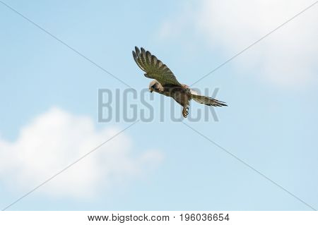 flying kestrel infront of clouds in the blue sky