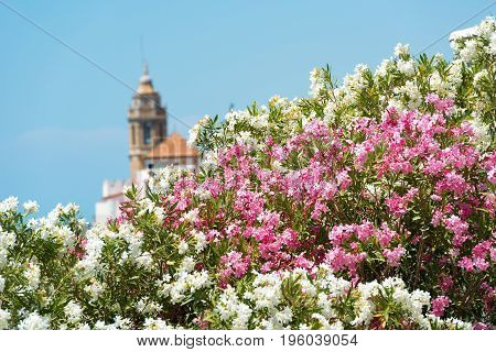 Blooming Oleander against the background of the church of Sant Bartomeu and Santa Tecla in Sitges Barcelona Catalunya Spain. Isolated on blue background