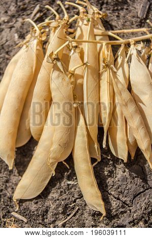 Yellow peas plant on dry cracked earth