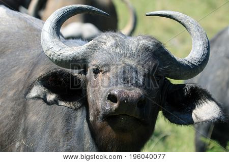 Cape Buffalo (Syncerus caffer) Eastern Cape South Africa young bull