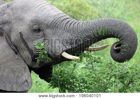 Head of a young male African elephant feeding on acacia South Africa