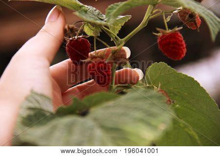Woman's Hand Gather Raspberries On A Bush. Closeup Of Raspberry Cane. Summer Garden In Village. Grow