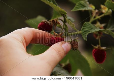 Woman's Hand Gather Raspberries On A Bush. Closeup Of Raspberry Cane. Summer Garden In Village. Grow