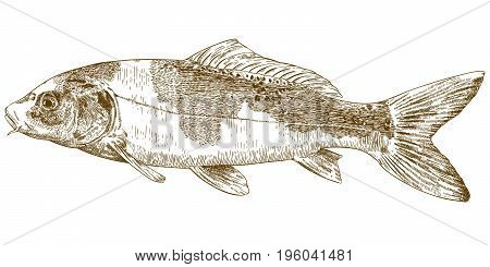 Vector antique engraving illustration of koi carp isolated on white background