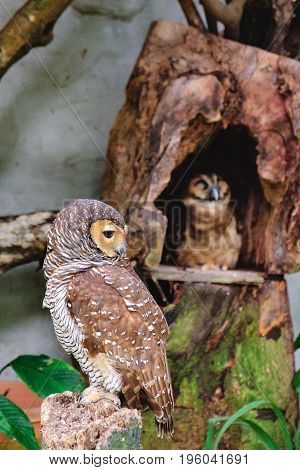 Spotted wood-owls sitting on a tree in Kuala Lumpur Bird park, Malaysia. This small owl which breeds in tropical Asia. A common resident of open habitats including farmland and human habitation