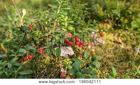 wild lingonberry plant close up photographed in Finnish forest