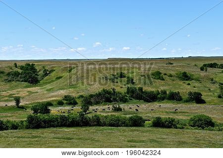 View of a butte, grazing herd of beef cattle, and valley in the vast prairie lands of South Dakota