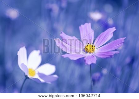 Two cosmos flower white and purple on a blue background.Selective soft focus.