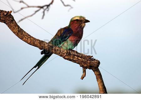 Roller Sabine's (Coracias caudata) Kruger Park South Africa