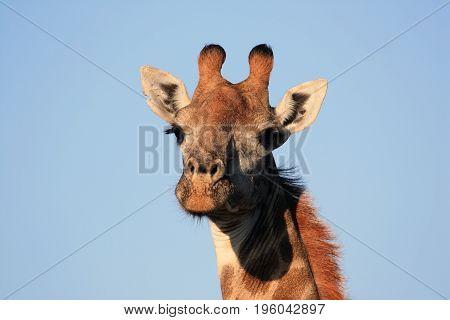 The giraffe looks at the camera. Giraffe's head