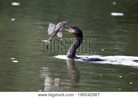 Waterfowl (cormorant) swims with fish. Costa Rica