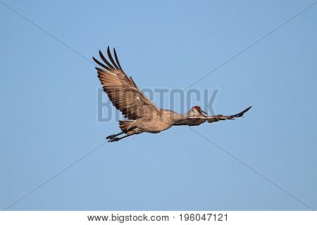 Sandhill Crane (Grus canadensis) in flight at Bosque del Apache in New Mexico poster