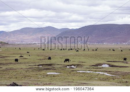 Meadow Steppe Wild Yak Surrounding By Mountain Cloudy Weather, Shangri La, Yunnan Province, China