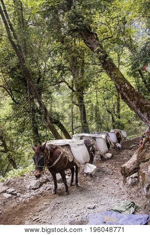 Mule Carring Heavy Sand Bags Walking On The Mountain Trail In Shangri La, Yunnan Province, China