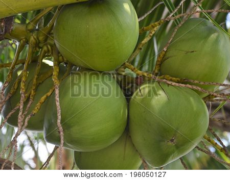 horizontal image of a group of coconuts