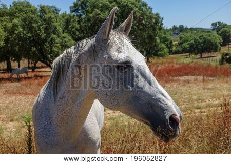 Beautiful white horse portrait in portuguese countryside
