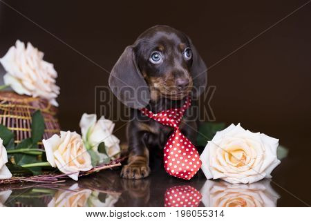 Puppy dachshund, miniature brown-tan color